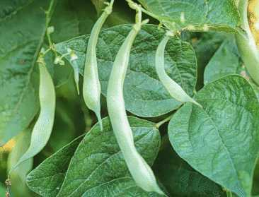 Kidney Bean Plant Pod