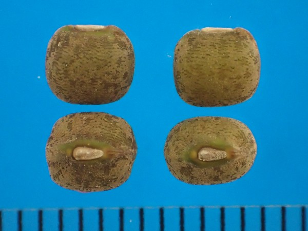 NARO Genebank - NIAS World Mungbean Core Collection